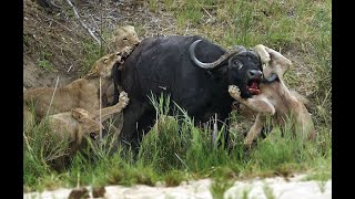 THE HUNT - Epic Battle Between Lions and Buffalo