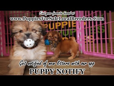 Sable Shih Tzu Puppies For Sale In Georgia, Local Breeders