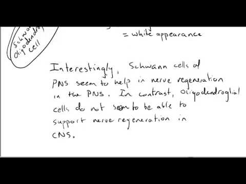 U5 L2 Video Part 2 of 2 (opt) - Cells of the Nervous System