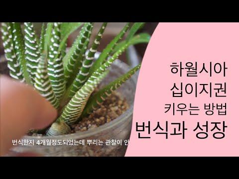 십이지권 하월시아 번식과 키우는 방법🌵 : How To Grow Haworthia Mini Aloe And Succulent Plants