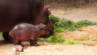 nuevo beb hipoptamo zoolgico de chapultepec