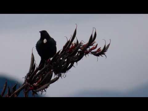 Peaceful New Zealand Birdsong