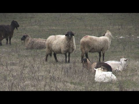 American base in Romania under siege from sheep