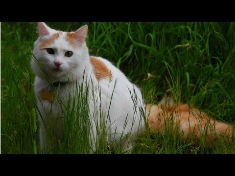 Турецкий Ван, Породы Кошек, описание, характер
