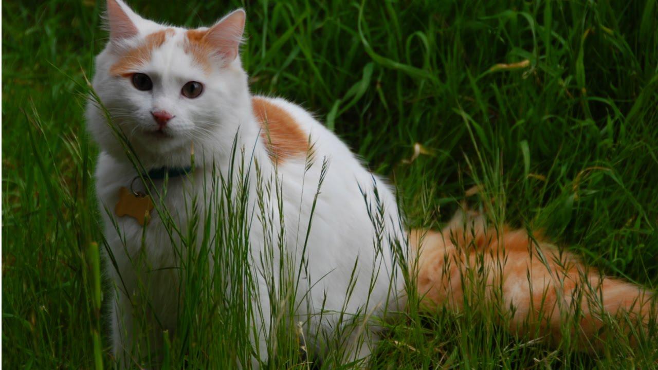кошки турецкий ван фото