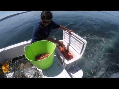 Shrimping Spot Prawns Puget Sound 2015