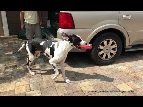 great-dane-puppy-learns-to-carry-dog-treats-into-the-house