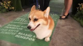 Презентация породы вельш-корги пемброк на World Dog Show 2016
