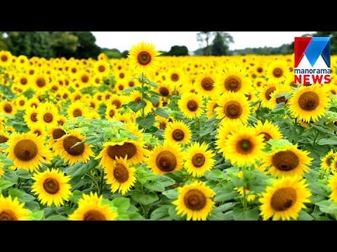 Marigold and Sunflowers welcomes tourists to Gundlupet | Manorama News