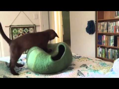 Two Burmese kittens play in green cocoon