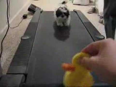 shih tzu running on treadmill