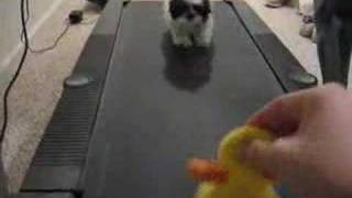 shih tzu running on treadmill