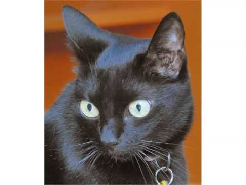 Black Burmese Kittens - Cat Pictures
