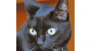 Black Burmese Kittens - Cat Pictures