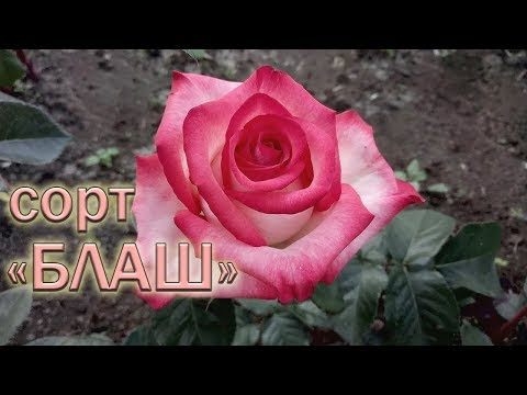 Обзор чайно-гибридных роз сорта Блаш