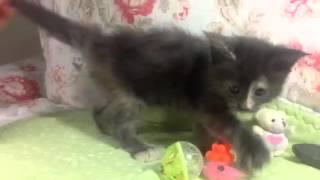 Видео мейн кун котёнка Беатрисы.Питомник кошек мейн кун_MisterCoon