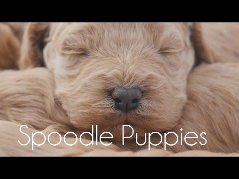 Sleepy Spoodles!!!