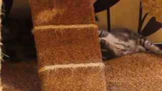 Британские котята Бинго 1 месяц