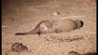 Mongoose fight to the death!