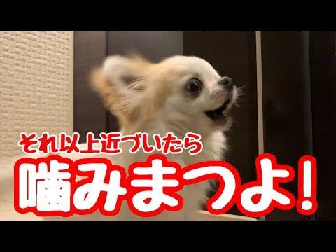 【angry dog】内弁慶なチワワが番犬になるか佐川急便さんで試してみた【かわいい犬】【ペット動画】【chihuahua】【cute dog】【子犬チワワ】