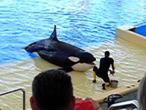 Orka show in Loro Parque - Tenerife
