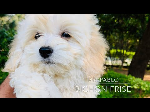 Bichon frise dog breed puppy in India | best apartment dog breed | Good for apartment dog breed