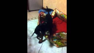 Tom Ed India Pinscher E Doberman