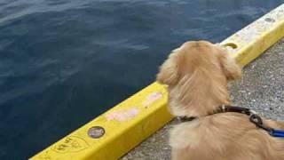 約6ヶ月の子犬のゴールデンレトリバー 岸壁から海を見て腰が引けてる~...