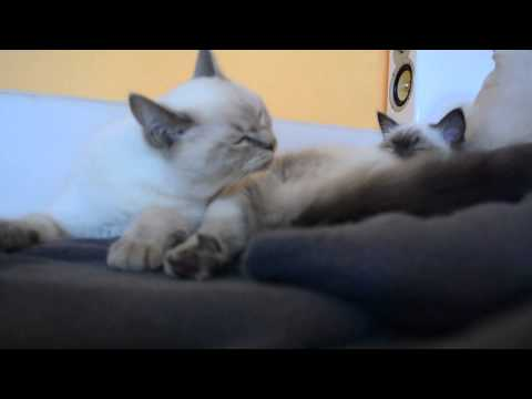 british short hair cat snuggles with a ragdoll cat