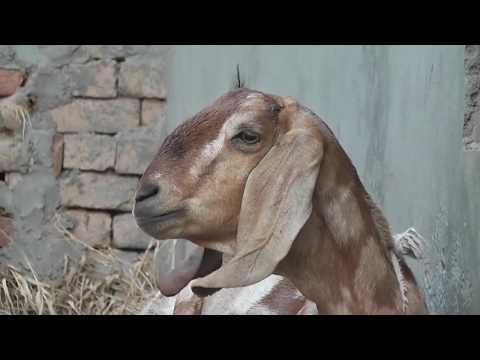 Animal Sounds video ( bakry ki awaz ) بکرا کی آواز