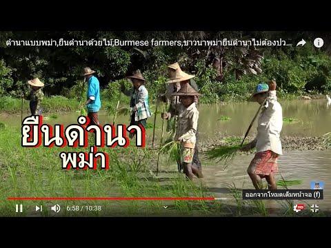 ดำนาแบบพม่า,ยืนดำนาด้วยไม้,Burmese farmers,ชาวนาพม่ายืนดำนาไม่ต้องปวดหลัง เร็วด้วย,น้ำไม่กัดมือ