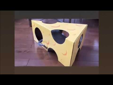 Watch a Cornish Rex cat play in a cardboard box!
