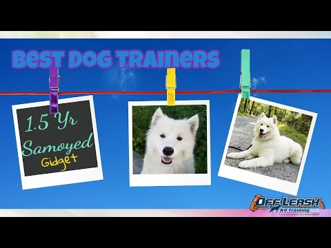 1.5yo Samoyed (Gidget) I Puppy Obedience I Best Dog Trainers in Delaware