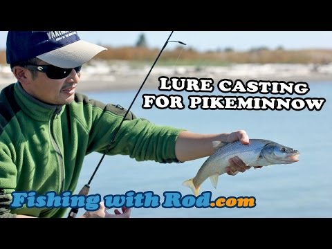LURE CASTING FOR NORTHERN PIKEMINNOW IN THE FRASER RIVER   Fishing With Rod