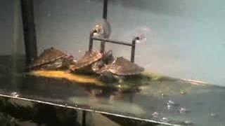 Belching, Yawning, Fighting Turtles