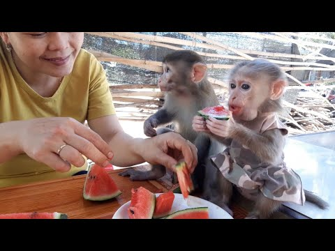 Baby Monkey Lusi And Lu Always Kiss Their Mom After They