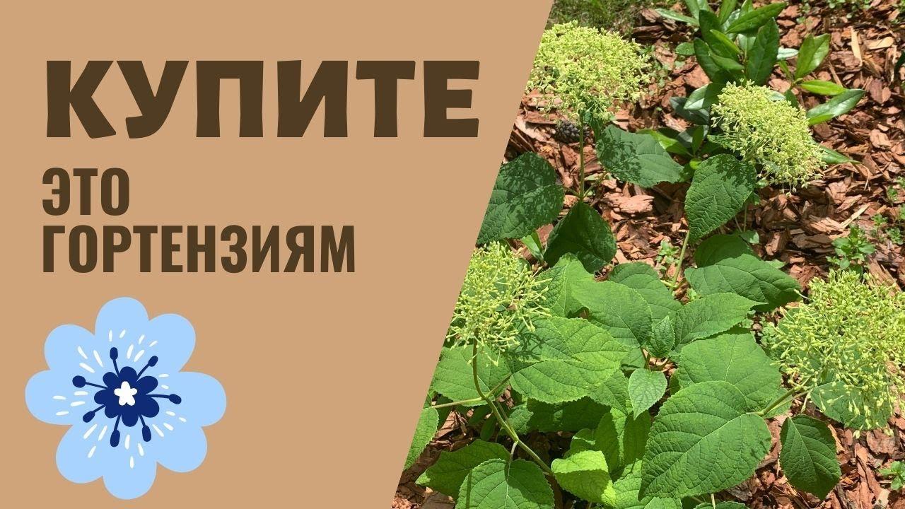 Удобрения для гортензии, препараты для роста и голубых цветов гортензии, мои советы