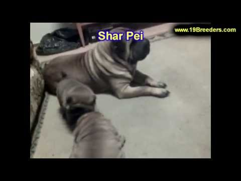 Shar Pei, Puppies, Dogs, For Sale, In Miami, Florida, FL, 19Breeders, Tallahassee, Gainesville