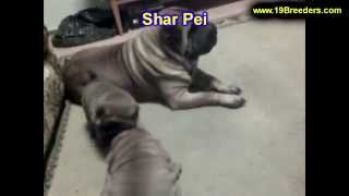 Sharpei, Puppies, For, Sale, In, Jacksonville,florida, Fl,tallahassee,gainesville,