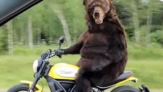 дтп с видеорегистраторов.Медведь на мотоцикле -Прикол