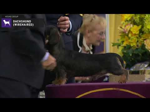 Dachshunds Wirehaired | Breed Judging 2020