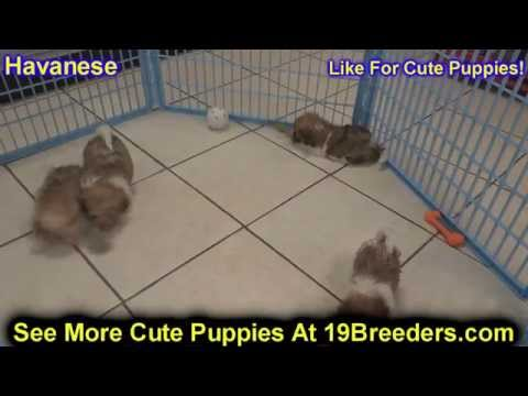 Havanese, Puppies, Dogs, For Sale, In Las Cruces, County, New Mexico, NM, 19Breeders, Santa Fe