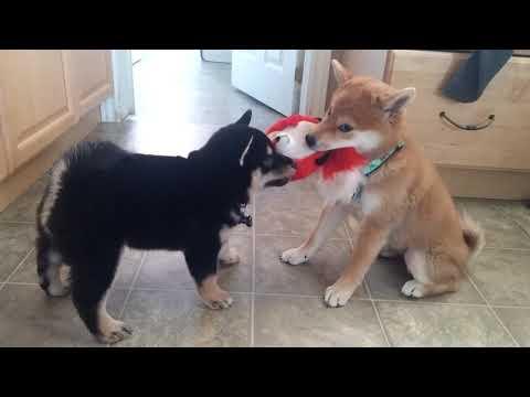 Shiba inu tug of war on the fox