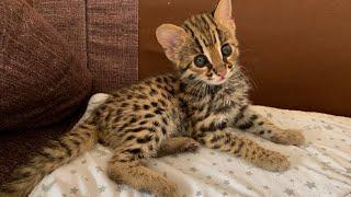 Азиатский леопардовый кот Лайк