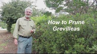 How to Prune Grevilleas - Part 1