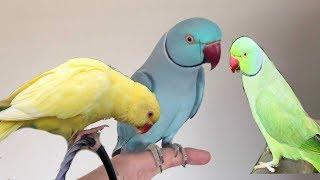 Learn your parrot some AMAZING tricks! Обучение попугая трюкам