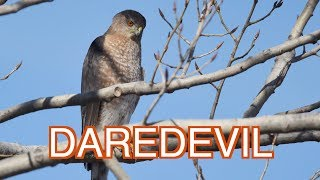 Cooper's Hawk: a Reckless Predator! NARRATED