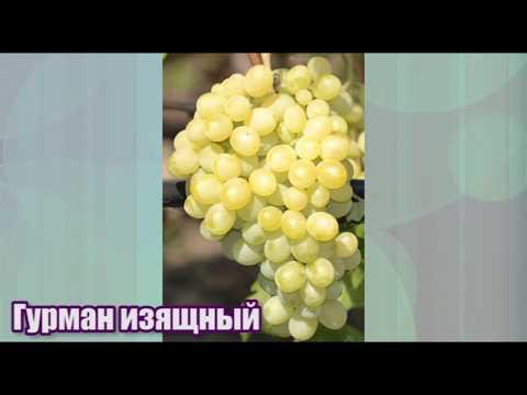 Гурман Изящный - ранний и очень урожайный виноград селекции В. Н. Крайнова