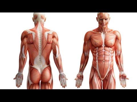 Músculos del cuerpo humano - YouTube