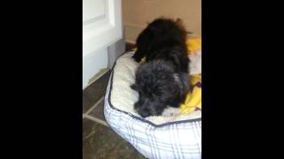 Meet Mitzi A Schnauzer Miniature Currently Available For Adoption At Petango.com! 1/18/2013 8:01:09